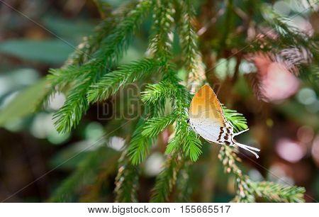Hairstreak Butterfly On Branch