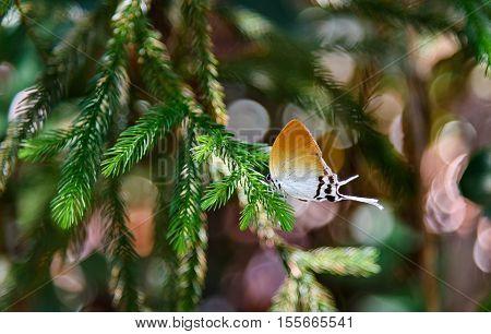 Hairstreak Butterfly on branch Flower on the tree bark in rainforest at Bako National Park. Sarawak. Borneo. Malaysia