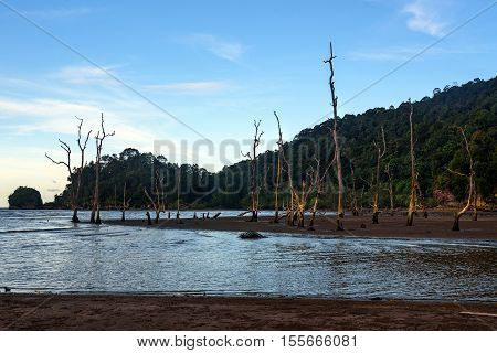 Dead Mangrove Trees On Beach In The Evening