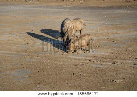 Family Of Bornean Bearded Pigs On Beach