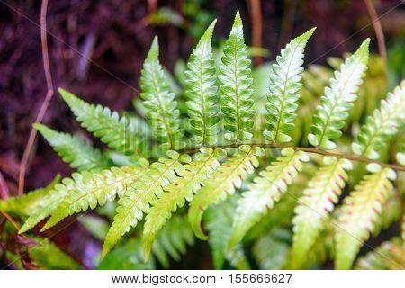 Leaf Tropical Fern