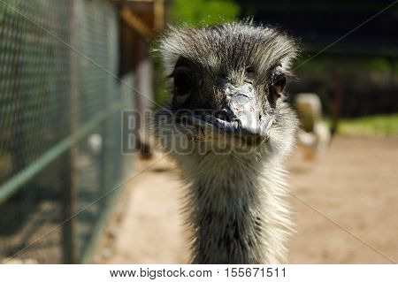 a ostrich head closeup funny face of a strauss