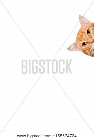 Cat over blank posterboard, you add the message. Isolated on the white.