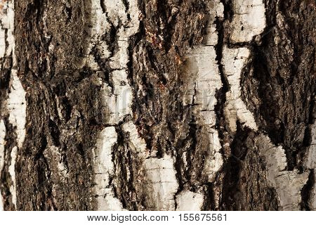 Texture Of Bark Old Birch Tree Close Up.