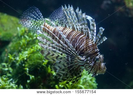 Red lionfish (Pterois volitans). Marine fish.