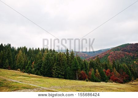 Green Spruce And Red Autumn Forest. Autumn Forest, Many Trees In Hills At Carpathian Mountains On Uk