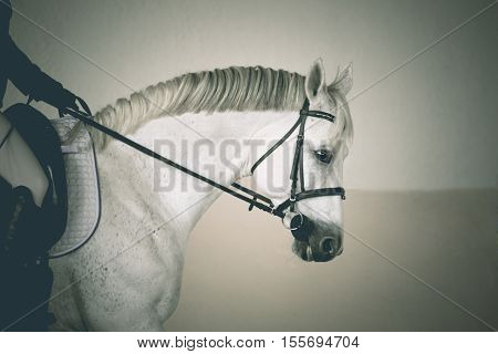 Portrait of the white horse in black bridle with the riders hand and leg