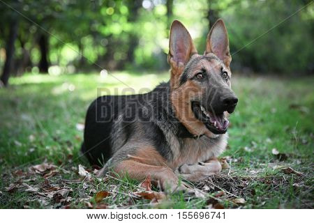 Cute german shepherd dog lying in forest