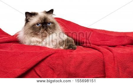 Cute persian colourpoint cat is lying on a soft red blanket isolated on white background