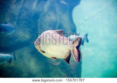 Piranha Fish In An Aquarium