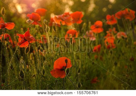 red poppies in the morning light. red poppies in the morning mist. red poppies in the evening light. poppies in the morning sunlight.