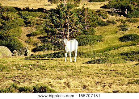 La vaca blanca pastando en la montaña