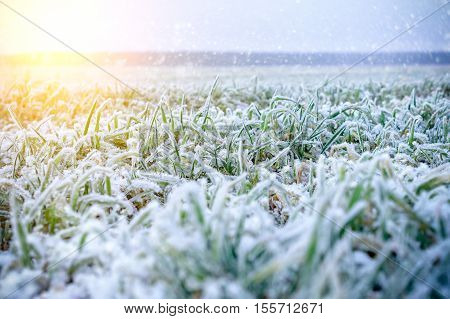 Green grass field covered with frost. Shallow depth of field. Illuminated low winter sun