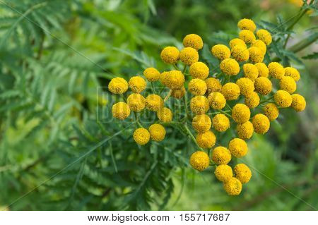 Tansy, Tanacetum vulgare in flower, seen from above.