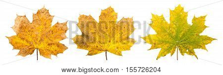 Group Of Three Maple Leaves In Different Stades Of Withering In A Row