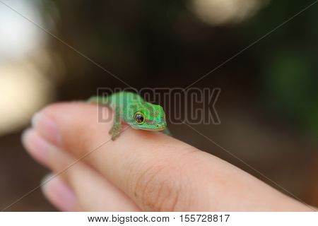 A green baby gecko posing on human fingers.