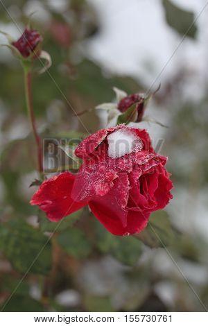 En röd ros med snö på blomman