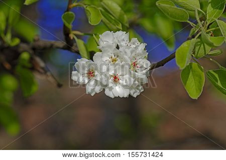 Blossom cherry in its own shadow artistic background