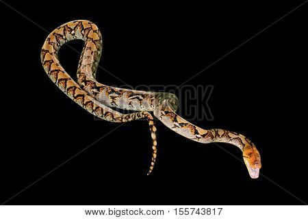 Reticulated Python snake Pythonidae Reticulatus, isolated on black background. copy space.