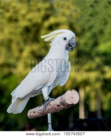 Sulphur crested Cockatoo Cacatua galerita bird, lovely pet
