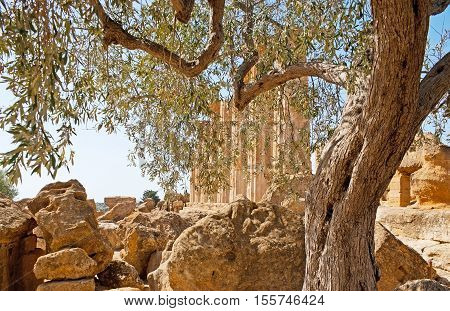 The columns of the Temple of Heracles seen through the lush branches of the olive tree Agrigento Sicily Italy.