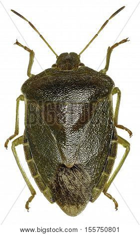 Green shield bug on white Background - Palomena prasina (Linnaeus 1761)
