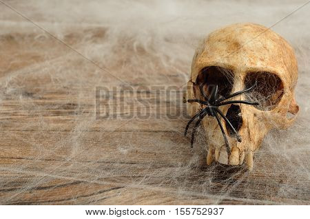 Vervet monkey skull covered with cobwebs and a black spider