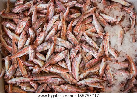 Red mullet fishes or Mullus barbatus koutsomoura on ice for sale at the greek fish shop. Red mullet fishes on ice for sale. Horizontal.