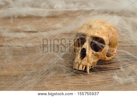 Vervet monkey skull covered with cobwebs with a wooden background