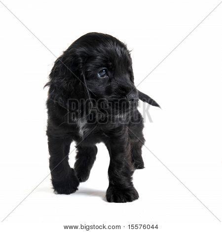 portrait of a purebred puppy english cocker in a studio poster