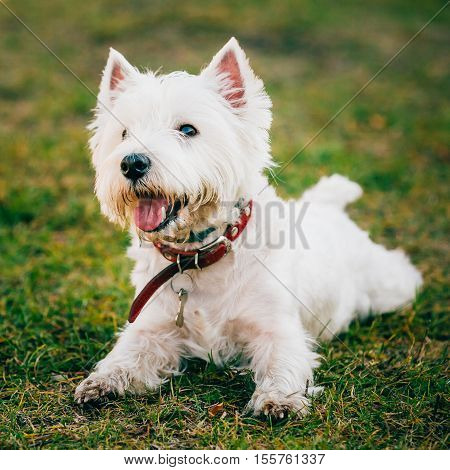Happy Cute West Highland White Terrier - Westie, Westy Dog Play in Grass