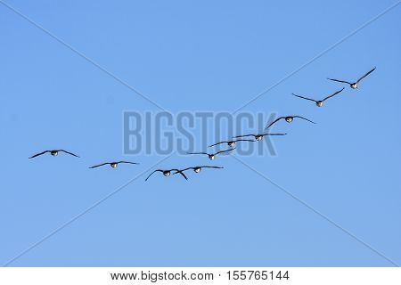 A group of Canada geese from behind, in migration. Clear blue sky in April.