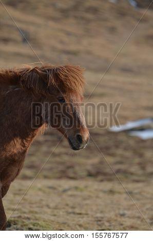 Roan horse in a field in Iceland.