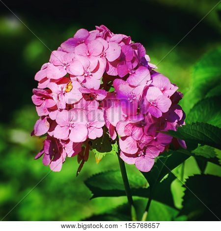 Photo of the Pink Hydrangea Flower Over Green Background