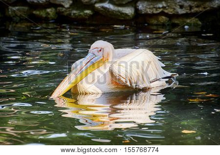 Single Pelican At Green Water Autumn Time