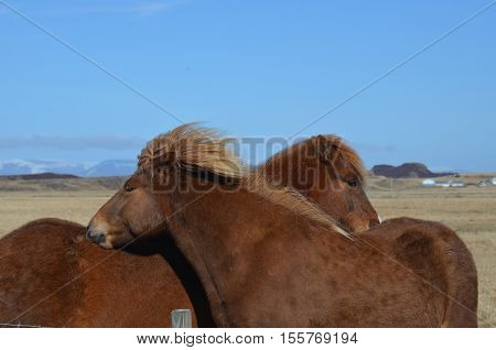 Horses grooming each other's back and nuzzling.