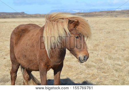 Beautiful palomino horse in a field in Iceland.