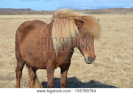 Gorgeous blonde mane wind swept on a chestnut horse. poster