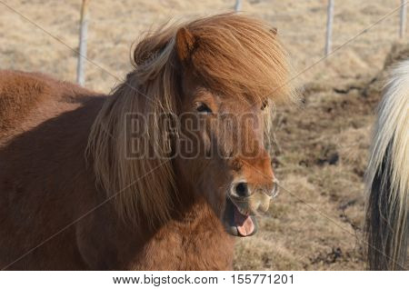 Really cute chuckling Icelandic chestnut horse with his mouth open.