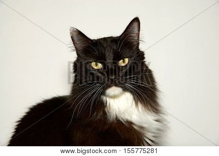 One black and white long haired cat with yellow green eyes looking directly at viewer. Off white background.