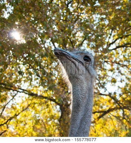 The African Ostrich (struthio Camelus)