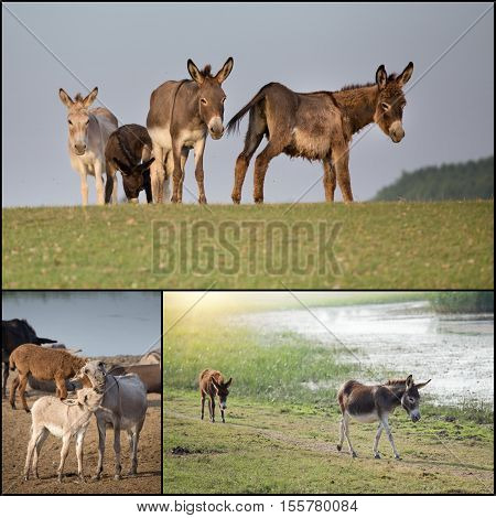 Collage Of Donkeys