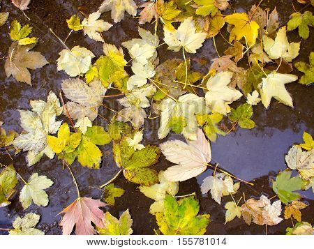 Wet Autumn Leaves In A Puddle