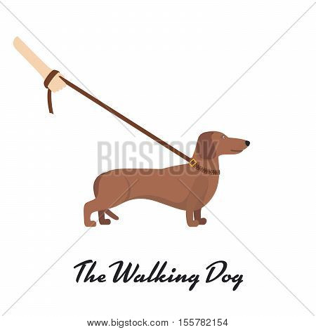 Light Brown Dachshund breed standing on white background