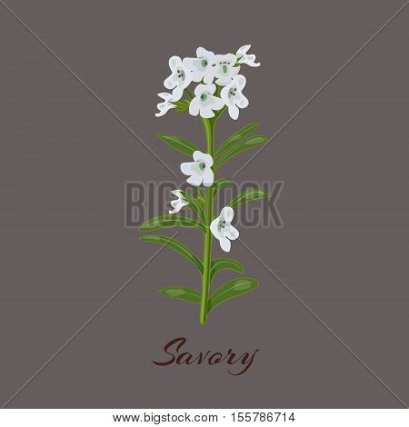 Savory. known as Satureja montana. Flowers and leaves. Vector illustration