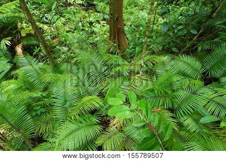 Tropical fern in the deep jungle of Borneo, Malaysia