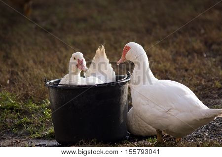 Bathe the duck (Cairina moschata) in the bucket.