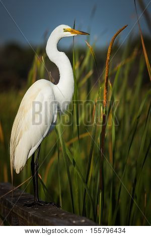 Great white egret standing in tall grasses