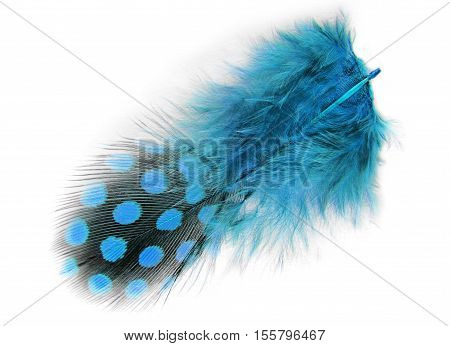 closeup of the blue spotted feather isolated on white