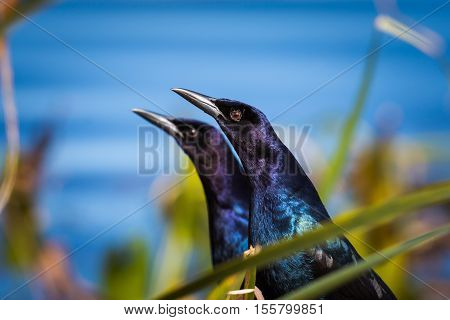 Two boat tailed grackles with water in the background.